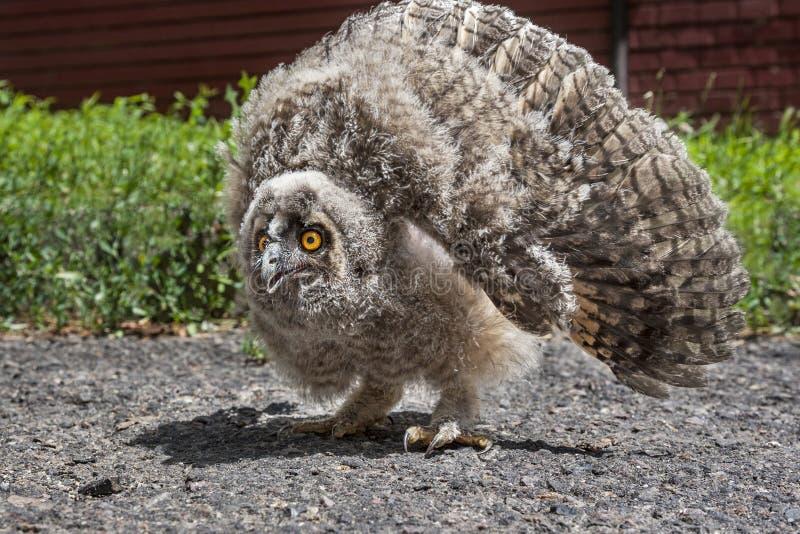 Gufo comune furioso dell'uccellino implume, otus del Asio fotografia stock libera da diritti