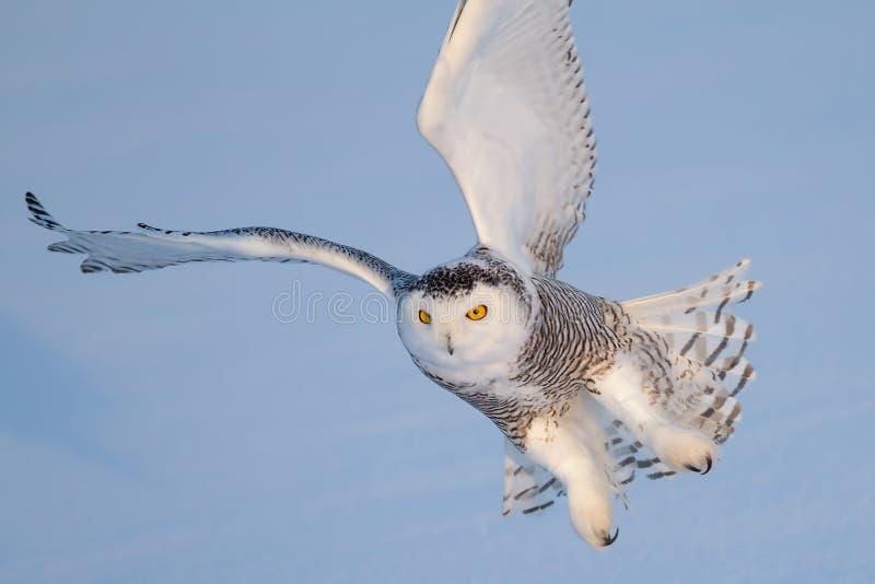 Gufo dello Snowy immagini stock libere da diritti