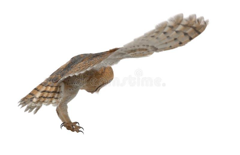 Gufo di granaio, Tyto alba, 4 mesi, volanti fotografia stock libera da diritti