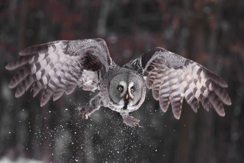 Gufo di grande Grey o lat del gufo della Lapponia. Nebulosa dello Strix fotografia stock libera da diritti