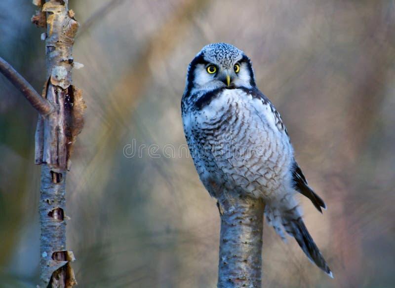Gufo di Hawk su un albero sulla costa occidentale della Svezia immagine stock