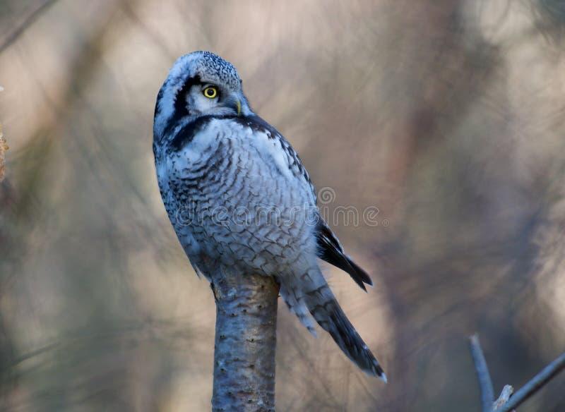 Gufo di Hawk su un albero sulla costa occidentale della Svezia immagini stock libere da diritti