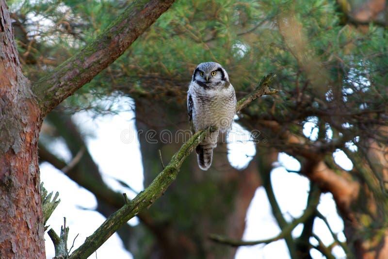 Gufo di Hawk su un albero sulla costa occidentale della Svezia fotografia stock libera da diritti