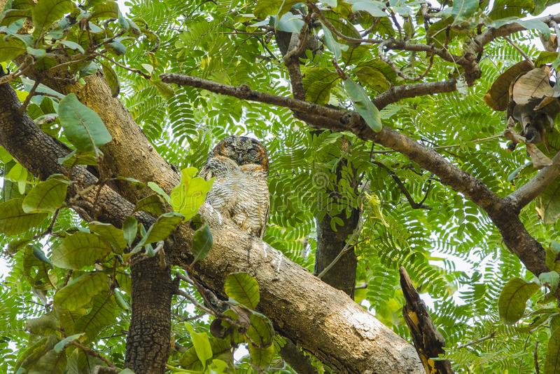 Gufo di legno chiazzato in foresta immagini stock libere da diritti