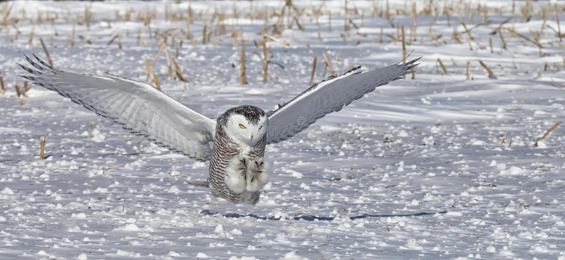 Gufo di Snowy immagini stock libere da diritti