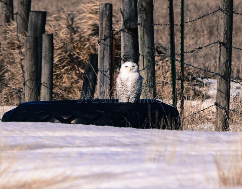 Gufo di Snowy che guarda mentre appollaiato su una vecchia gomma fotografia stock