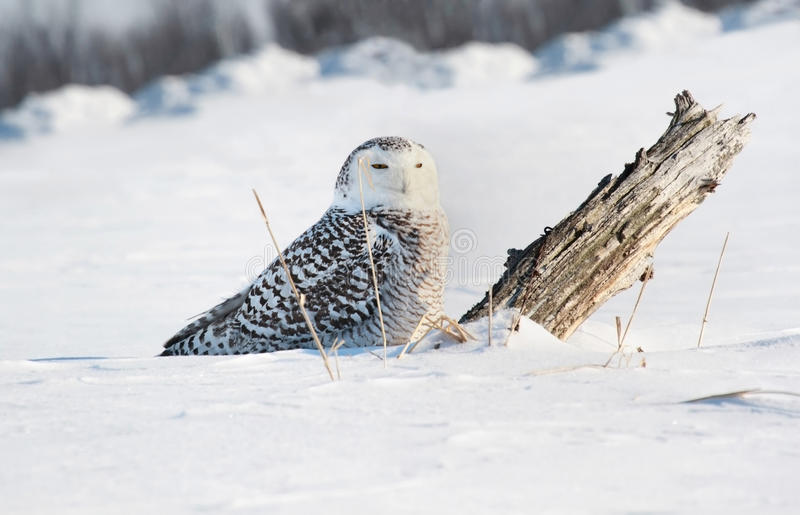Gufo di Snowy in neve fotografie stock