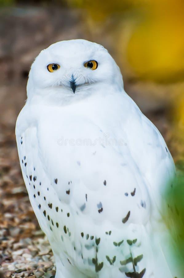 Gufo di Snowy, predatore bianco immagine stock