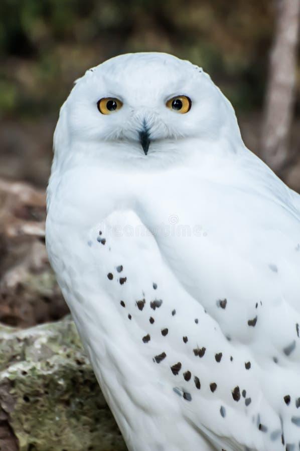 Gufo di Snowy, predatore bianco fotografie stock