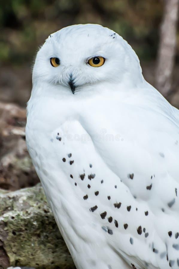 Gufo di Snowy, predatore bianco fotografia stock libera da diritti
