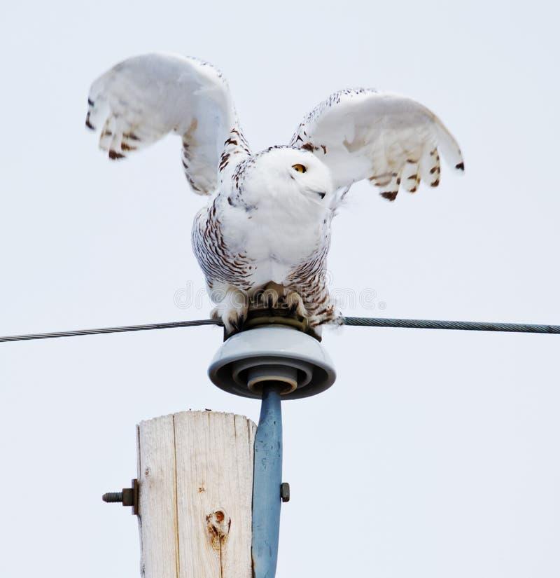 Gufo di Snowy pronto per il volo immagini stock libere da diritti