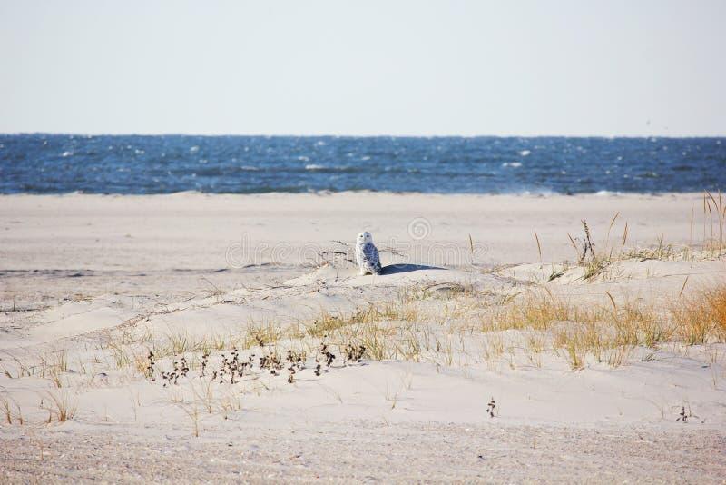 Gufo di Snowy sulla spiaggia fotografia stock libera da diritti