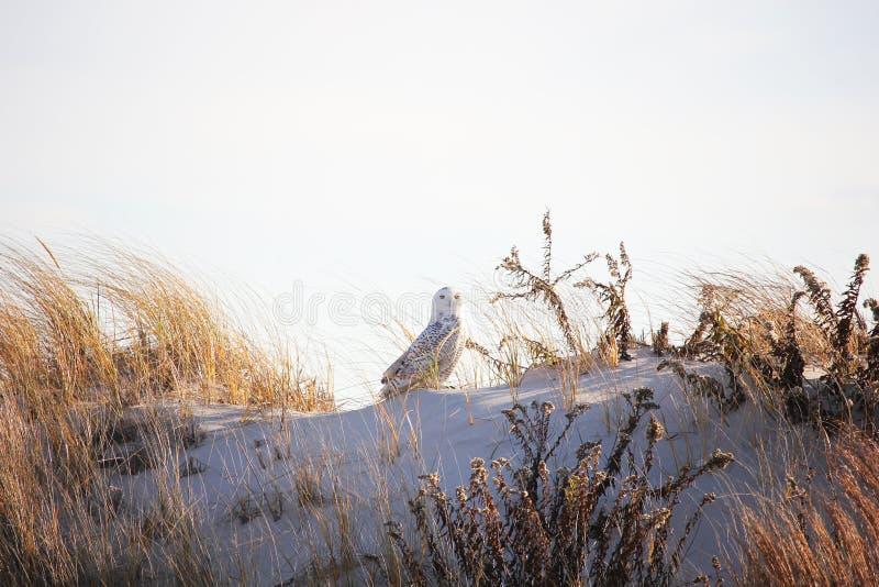 Gufo di Snowy sulla spiaggia nella duna fotografia stock