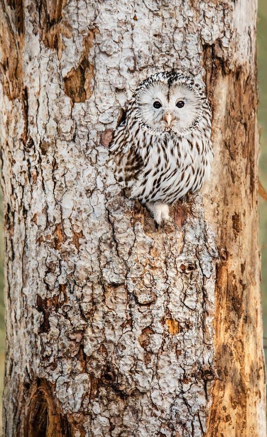 Gufo di Ural che si siede in un foro dell'albero che esamina macchina fotografica immagine stock libera da diritti