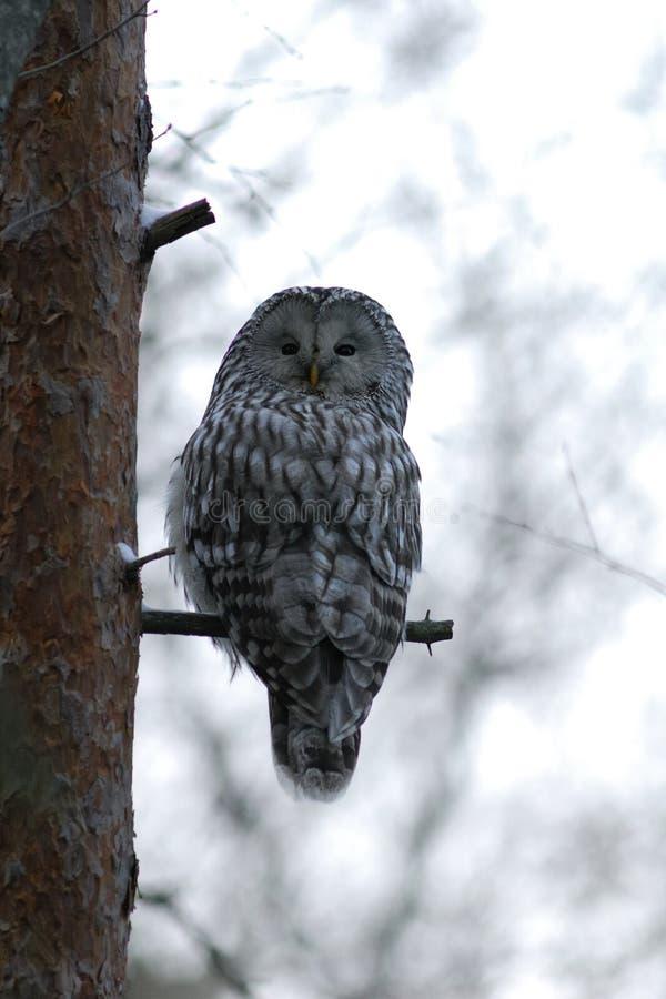 Gufo di Ural sull'albero fotografie stock libere da diritti