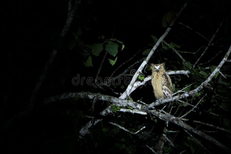 Gufo giallo selvaggio dell'occhio alla notte, giunzione di Sukau immagine stock