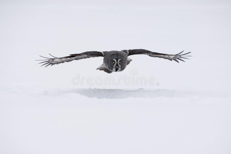 gufo Grande-grigio, nebulosa dello strige fotografie stock libere da diritti