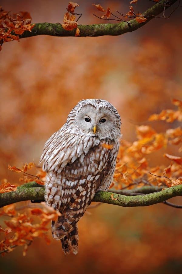 Gufo grigio chiaro di Ural, uralensis dello strige, sedentesi sul ramo di albero, alla foresta arancio della quercia delle foglie fotografie stock