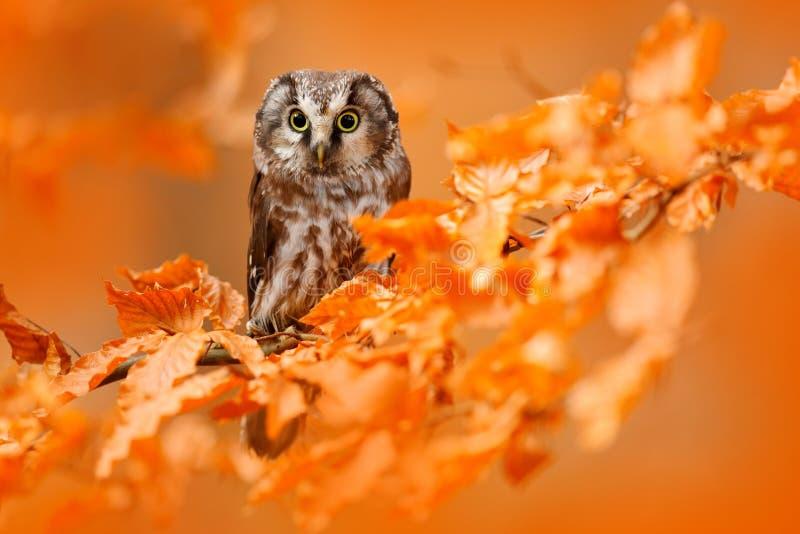 Gufo nascosto nelle foglie arancio Uccello con i grandi occhi gialli Uccello di autunno Gufo boreale nella foresta arancio di aut fotografia stock