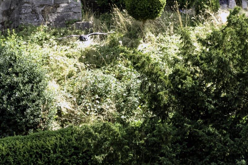 Gufo reale del ` s del verreaux di volo/lacteus del Bubo immagini stock libere da diritti