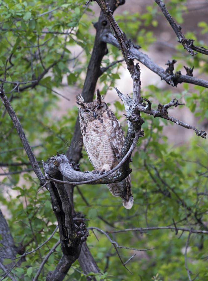 Gufo reale di Verreaux s, lacteus del Bubo in Namibia immagini stock libere da diritti