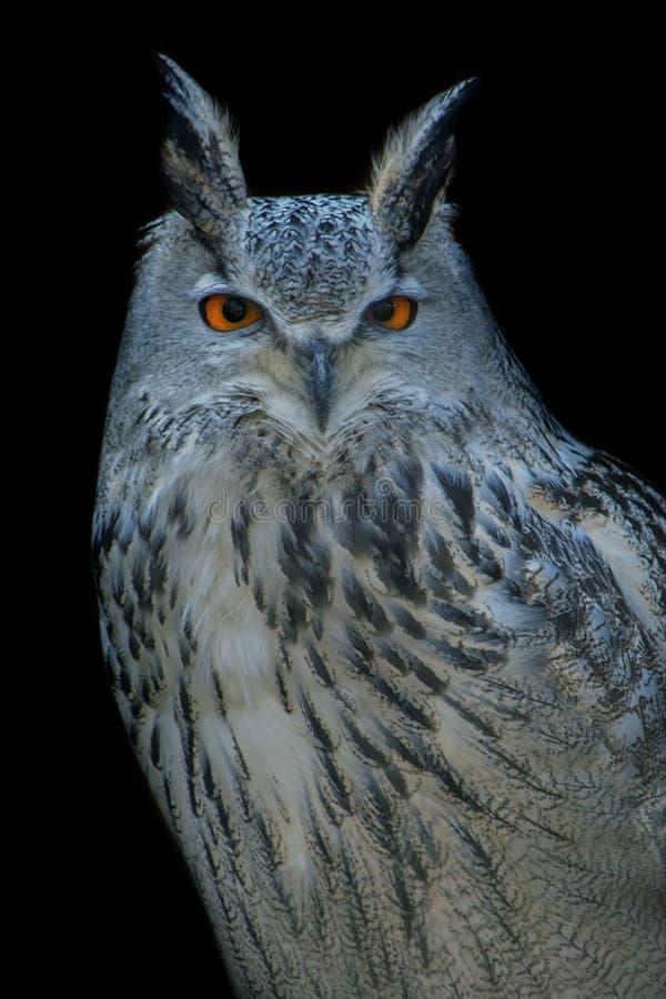 Gufo reale euroasiatico, uccello, il nero, occhio, ritratto immagine stock libera da diritti
