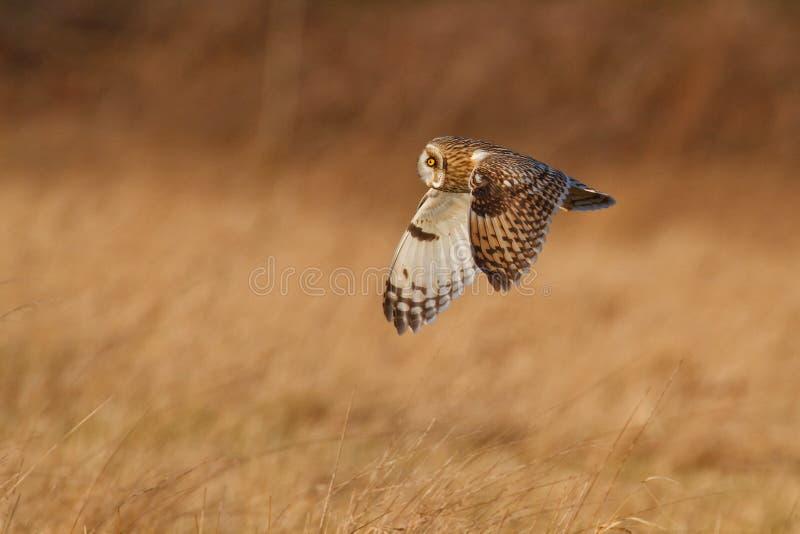 Gufo Short-eared nel Regno Unito fotografia stock libera da diritti