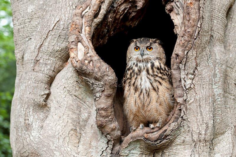 Gufo in una cavità dell'albero fotografia stock