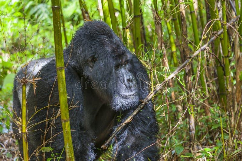 Guhonda el gorila más grande del Silverback de Rwanda foto de archivo