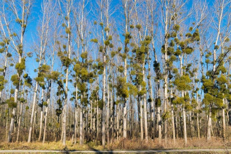 Gui sur des arbres dans la forêt d'hiver images stock