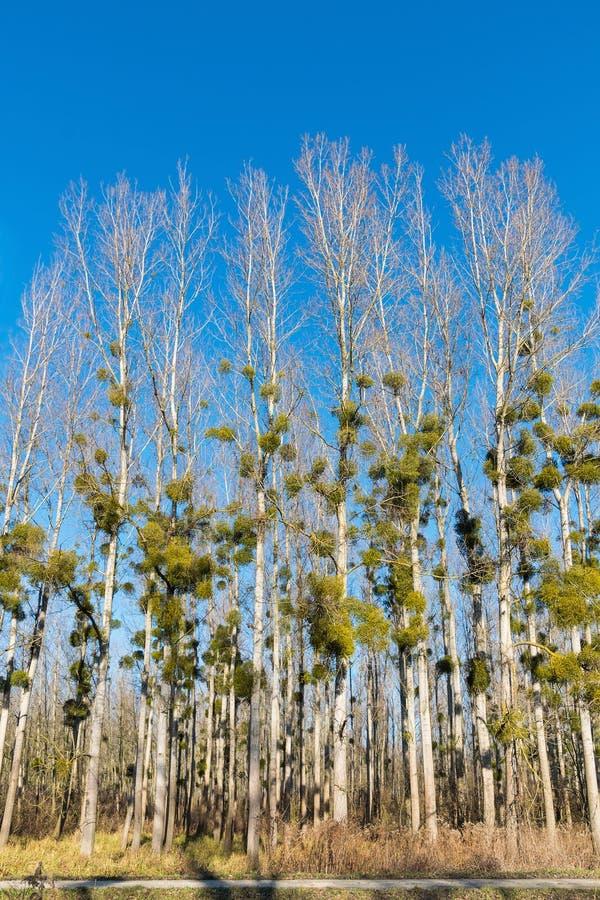 Gui sur des arbres de peuplier dans la forêt d'hiver image libre de droits