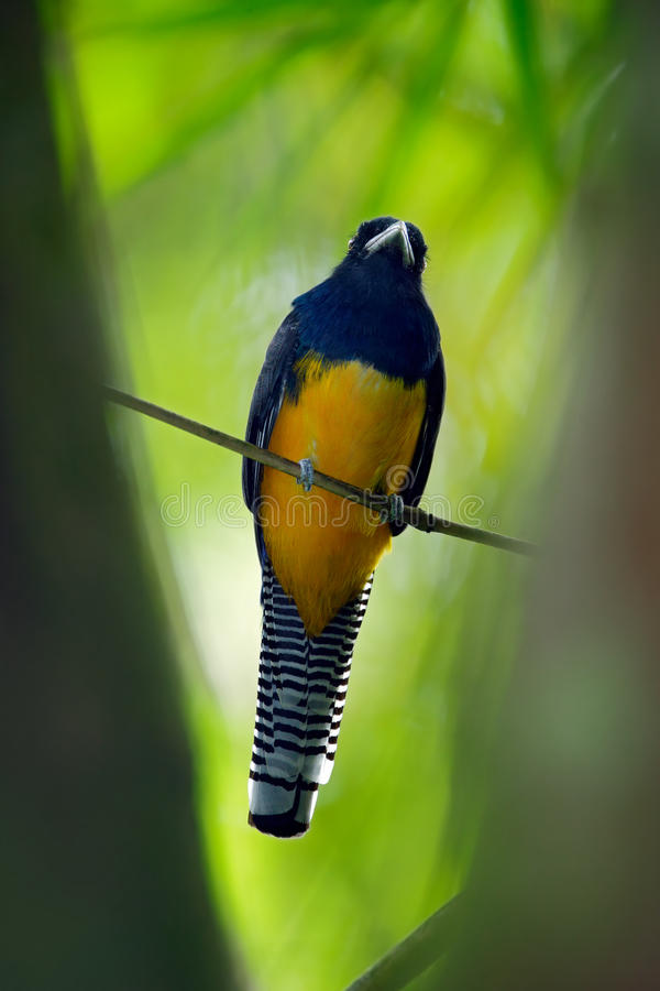 Guianan Trogon, Trogon violaceus, yellow and dark blue exotic tropic brid sitting on thin branch in the forest, Brazil. Guianan Trogon, Trogon violaceus, yellow royalty free stock photo