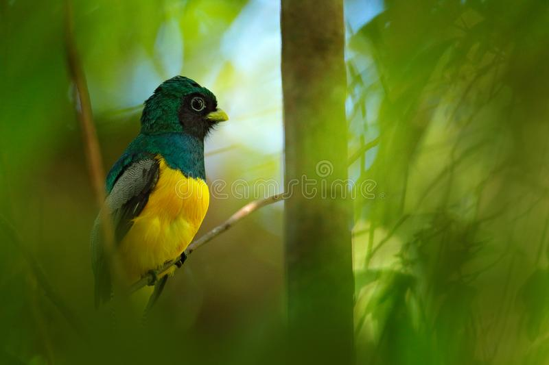Guianan Trogon, Trogon violaceus, yellow and dark blue exotic tropical bird sitting on thin branch in the forest, Costa Rica. Wildlife scene from the jungle stock photos