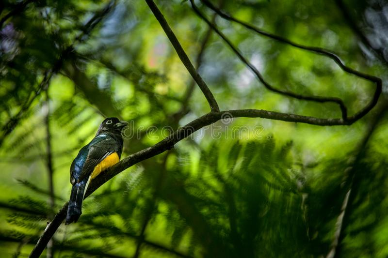 Guianan Trogon, Trogon violaceus sitting on branch caribbean forest. Trinidad and Tobago, colorful tropical bird. Bird waiting on branch and catching insects stock images