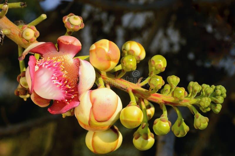 Flor da bala de canhão, guianensis de Couroupita (árvore do Sal) no Th do templo imagens de stock royalty free
