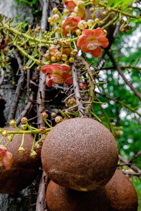 Guianensis de Couroupita Fleurs d'arbre de boulet de canon images libres de droits
