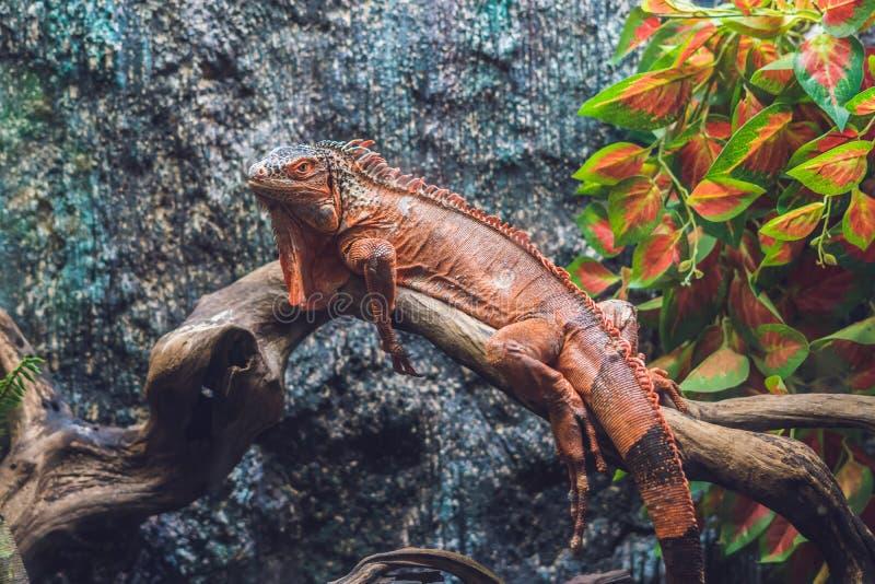 Guianensis de Dracaena de lézard de caïman, un grand indigène vert et rouge de reptile vers l'Amérique du Sud photo libre de droits