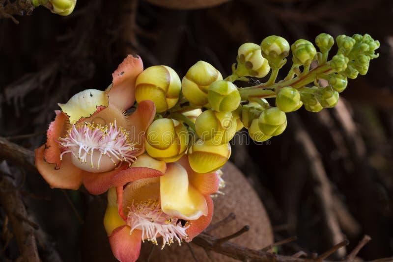 Guianensis van Couroupita van de Shivainstallatie Lingambloem, het bloeien, India op boom royalty-vrije stock afbeeldingen