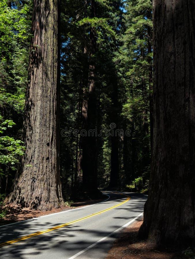 Guidando attraverso le sequoie di Humboldt immagine stock