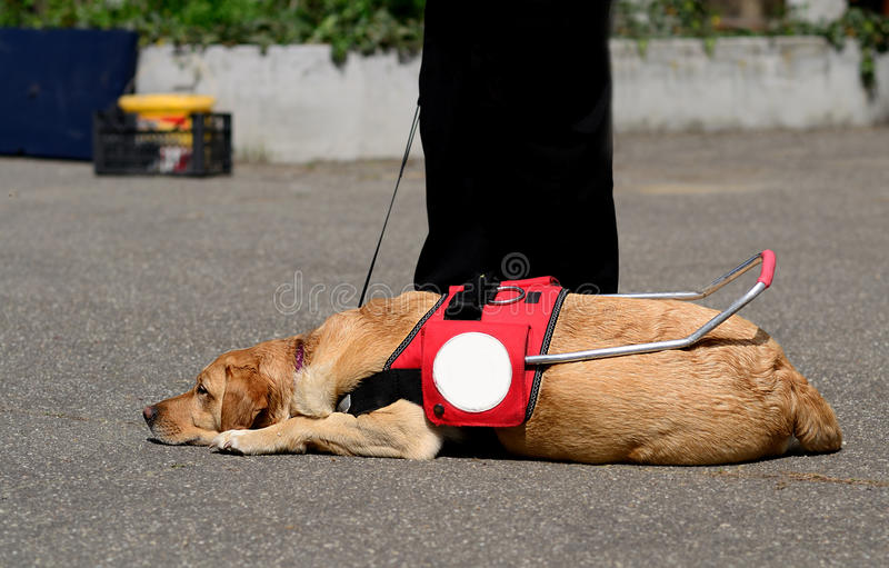 Guide dog resting stock images