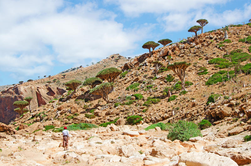 A guide in the Dragon Bottle trees forest in the protected area of Homhil Plateau, Socotra island, Yemen stock images