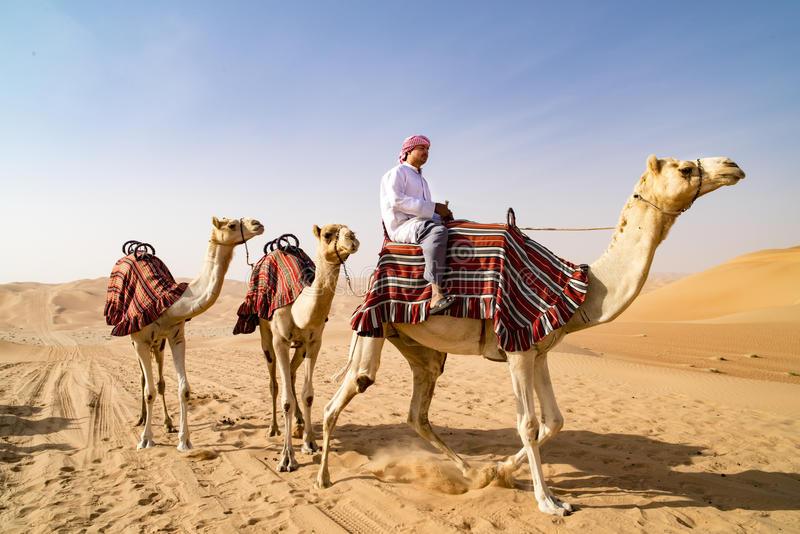 Guiding Camels in desert of Abu Dhabi, UAE. Dromedaries guided from leader. Guided camels in desert of Abu Dhabi, U.A.E royalty free stock photos