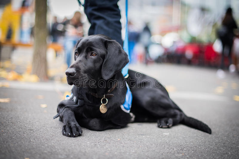 Guiding dog in training resting on the street. Guiding dog for blind person, black labrador in training is resting during a training royalty free stock photos