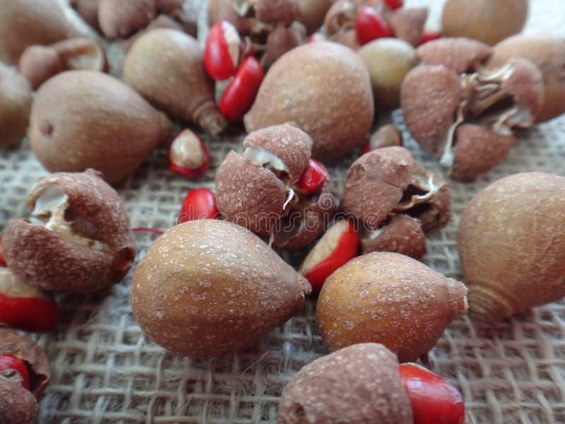 Guidonia de Guarea - capsules et graines images stock