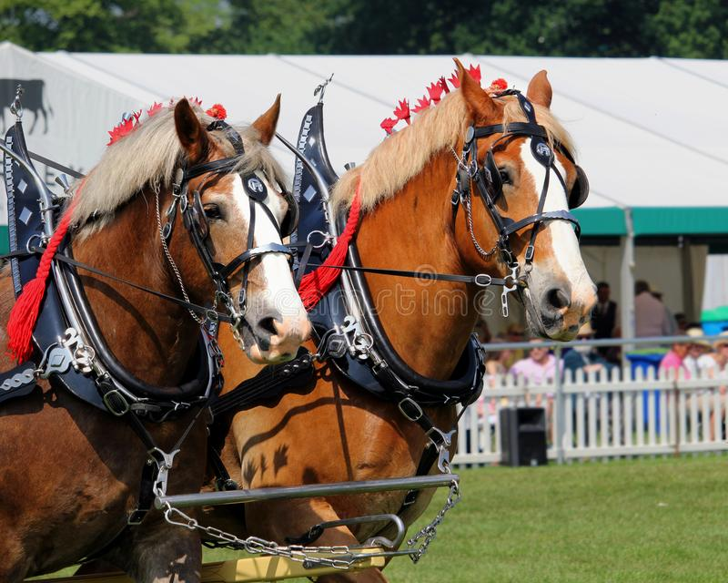 Guildford, England - May 28 2018: two bay Shire horses in traditional leather tack pulling a Dray or open wooden wagon stock photos