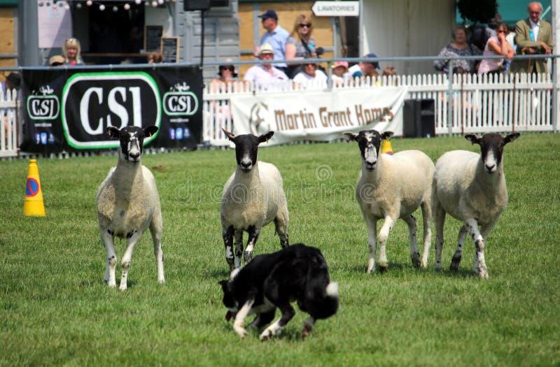 Guildford, Inglaterra - 28 de mayo de 2018: Cuatro ovejas hechas frente negras nerviosas fotografía de archivo libre de regalías