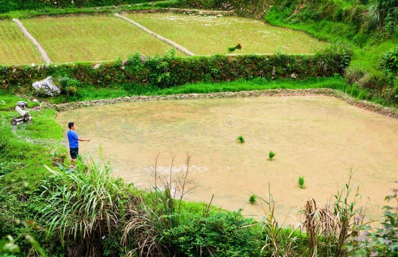 Guilin Kina - Juni 15, 2018: Bonde som kastar den unga risväxten royaltyfri fotografi