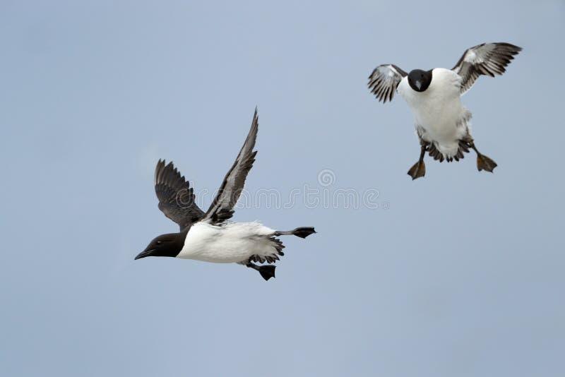 Download Guillemot stock image. Image of guillemot, aves, opposite - 27670787