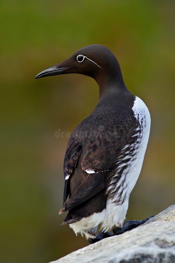 Guillemot commun, aalge d'Uria, oiseau mignon noir et blanc arctique se reposant sur la roche, habitat de nature, Islande Pingoui photographie stock