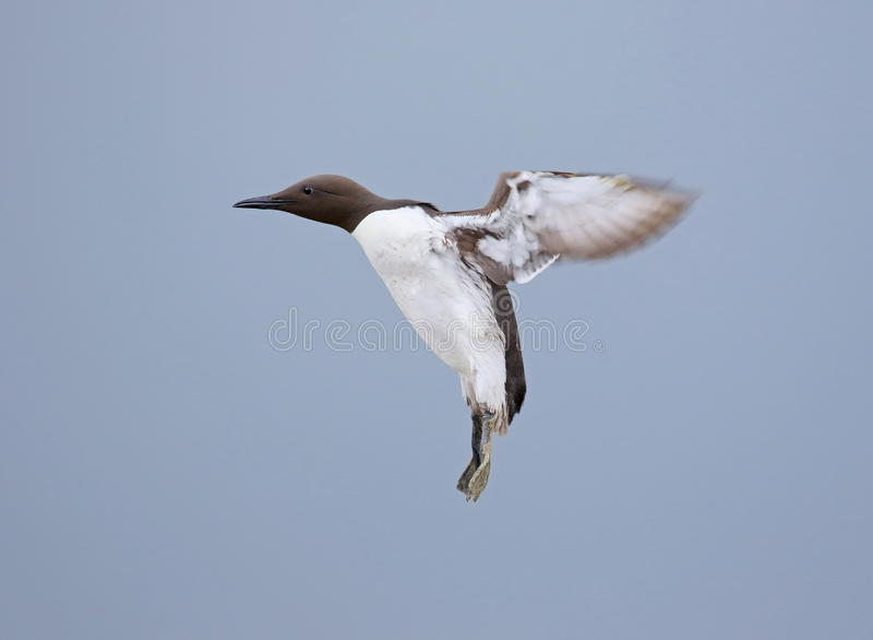 Guillemot. On the Farne Islands,Northumberland stock images